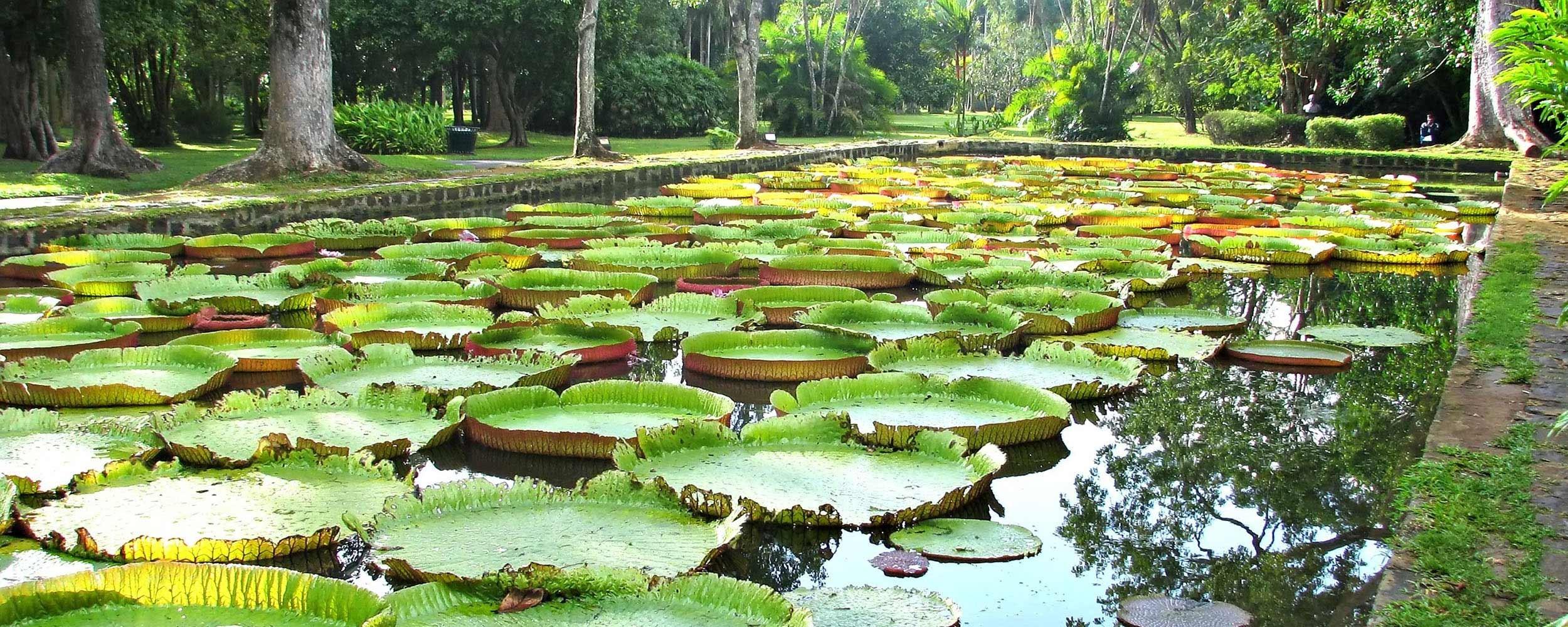 A l'Ile Maurice, un jardin luxuriant les Pamplemousses