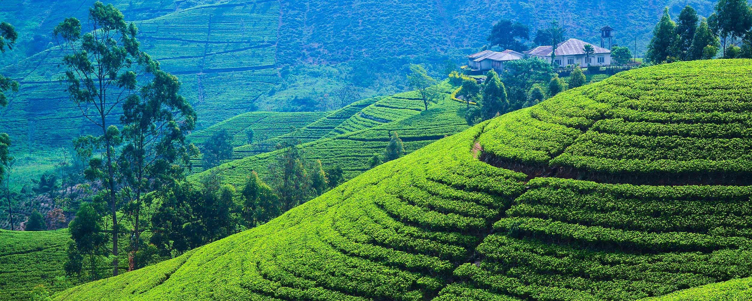 Sri Lanka, plantations de thé