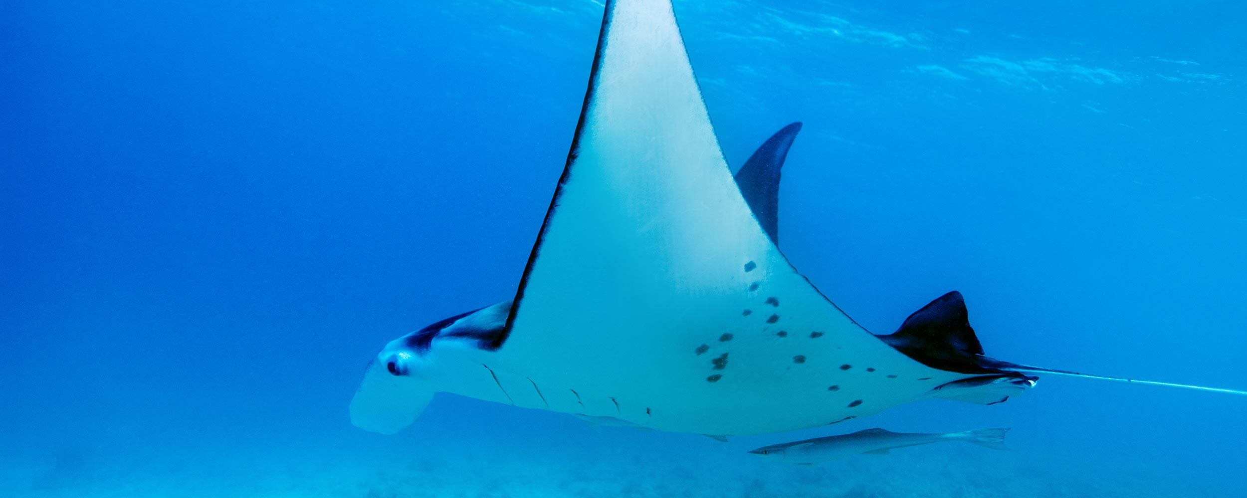 Polynésie Française plongée sous marine raie manta