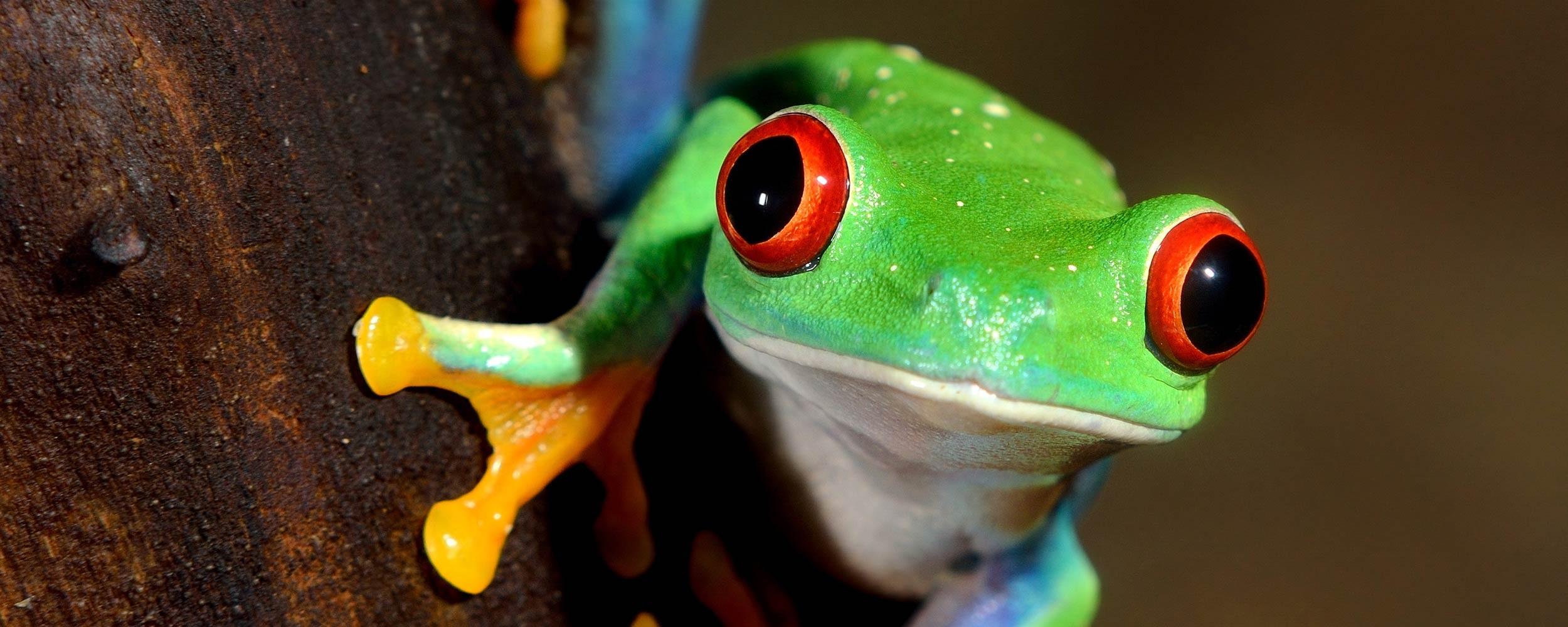 Costa Rica faune grenouille